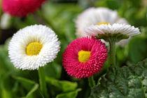 Rote ud weisse Blumen von Andreas Jeckstadt