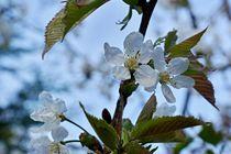 Kirschblüten 1 by leddermann