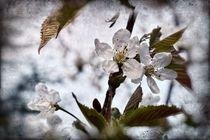 Kirschblüten 1 B von leddermann