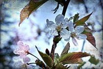 Kirschblüten 1 C von leddermann