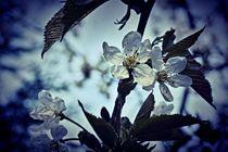 Kirschblüten 1 D von leddermann