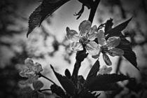 Kirschblüten 1 E von leddermann