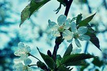 Kirschblüten 1 F von leddermann
