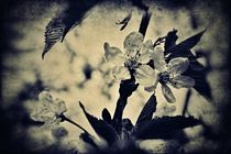 Kirschblüten 1 K von leddermann
