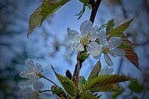 Kirschblüten 1 J von leddermann