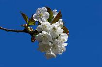kirschblüte by fotolos