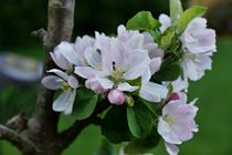 Apfelblüten 1 A von leddermann