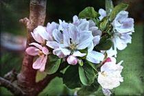 Apfelblüten 1 B von leddermann