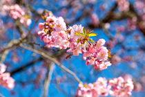 Eine wunderschöne Japanische Zierkirsche mit leuchtend rosaroten Blüten steht in einem Garten in Süddeutschland von Gina Koch
