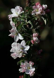 Apfelblüte  von Robert Barion