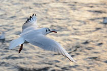 Little Gull von Malcolm Snook