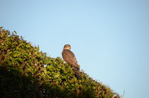 Sparrowhawk by Malcolm Snook