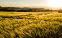 Cereal field in a sunny,windy day by Arpad Radoczy