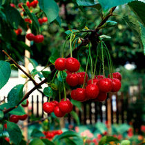 Kirschen im Garten. von li-lu