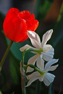tulips in love... 7 by loewenherz-artwork