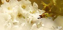 Zauberhafte Kirchblüte.. by Gertrud  Aulbach