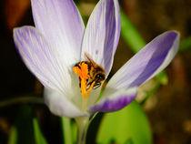 Biene im Krokus von Sabine Radtke