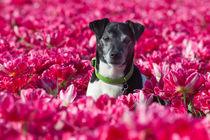 'Der Tulpenkavalier' von suze