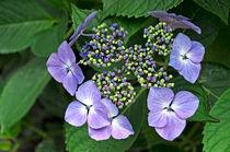 Hydrangea macrophylla 'Blue Wave' by Rod Johnson