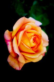 Rose von Walter Zettl