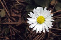 Daisy by Glen Mackenzie