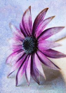 Osteospermum Delight by Clare Bevan