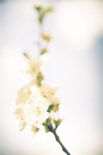 Kirschbluete von Ruby Lindholm