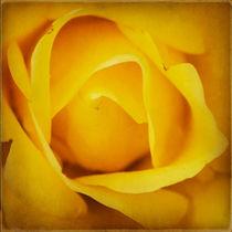 Rose by Jens Ardelt