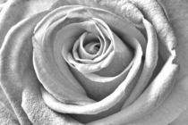 Rose black and white and beautiful by leddermann