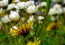 frühlingswiese von hedy beith