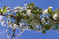 Kirschblüten by fotolos