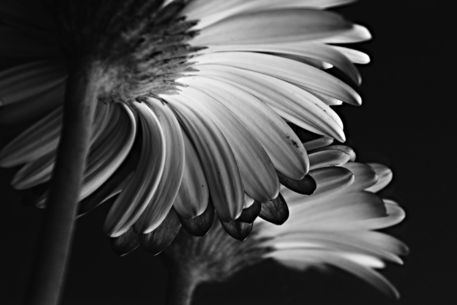 Mirrored-gerbera-2
