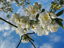Blütentraum im April by rosenlady