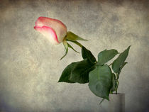 Antique rose by Barbara Corvino