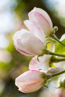 Apple Blossoms von STEFARO .