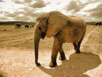 Elefant-in-sepiah