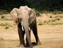 Junger afrikanischer Elefant von Tanja Riedel