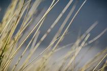 Dünengräser in Licht und Wind von Beate Zoellner