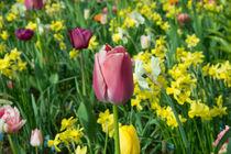 Purple Tulip  von Rob Hawkins