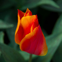 Red tulip  by Rob Hawkins