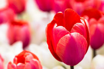 Rote Tulpen by Karl-Heinz Huil