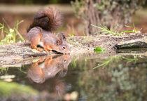 Eichhörnchen von Karl-Heinz Huil