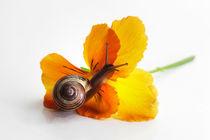 Kleine Schnecke auf Blüte by Tanja Riedel