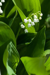 Lily of the valley flower by Igor Sinitsyn