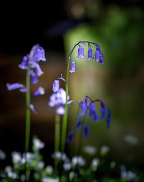 British Bluebells by Leighton Collins