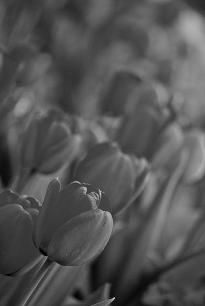 Tulips-grey-1