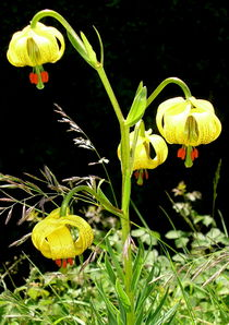 Molland Lily by Fliss Clooney