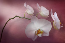 White Orchid Window by Cesar Palomino