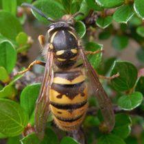 Macro wasp detail by Amanda Elizabeth  Sullivan