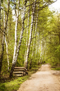 Spring birches woods footpath by Arletta Cwalina